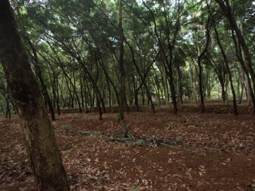 1 31 Acres Rubber Plantation For Sale At Trivandrum