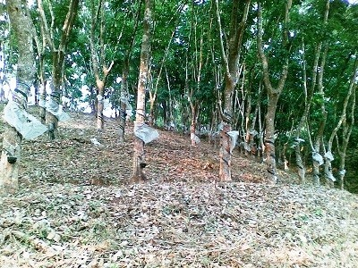 1.5 acre  rubber for sale in Munnad, Kasargod