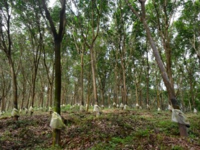 YOUNG RUBBER PLANTATION FOR SALE