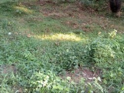 5 Cent Levelled Land for Sale (3.5 Lkh per Cent), suitable for Houses