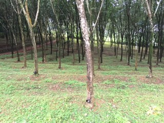 80 Cent Rubber Plantation for sale at Near Oonnukal,Kozhencherry,Pathanamthitta.