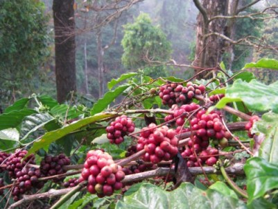 32 year old 5+ acres Coffee Estate for sale in Coorg