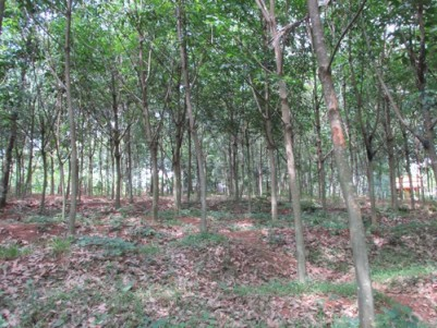 1.59 Acres of Rubber plantation for sale at Anchal.Kollam.