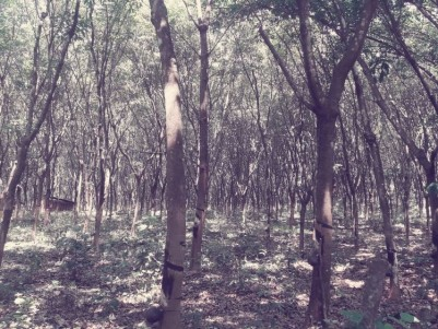 5 acre Rubber Plantation at Kalaketty, Kanjirapally