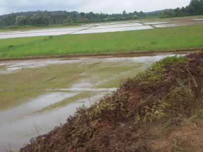 10 Acres of Paddy field for sale at Meenangadi, Wayanad