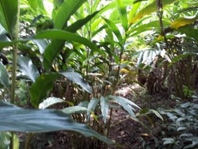 Cardamom Plantation For Sale At Rajakumary, Idukki.