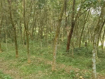 50 Cent Land with Rubber Plantation Ideal for House Construction at Arayankavu,Kottayam