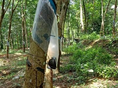 2.5/1.25 Acres Rubber plantation for sale at Chandanappalli, Pathanamthitta